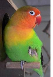 Lovebird Parrot
